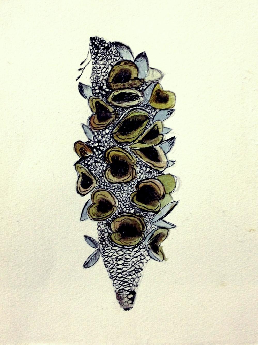 Banksia seed pod illustration.