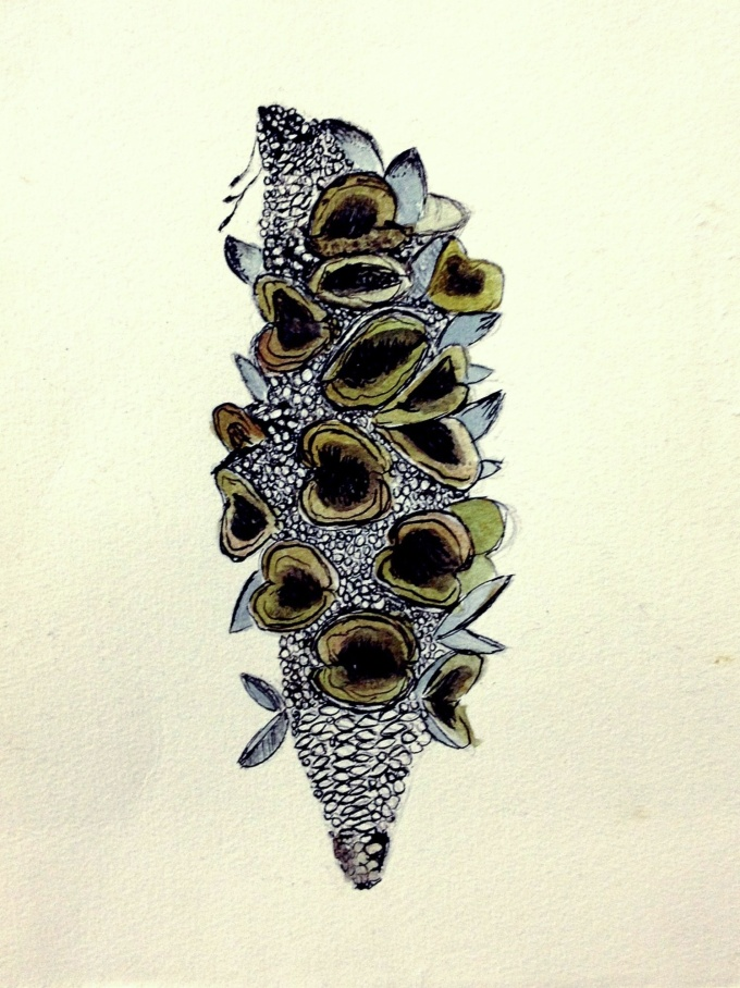 Banksia seed pod illustration.